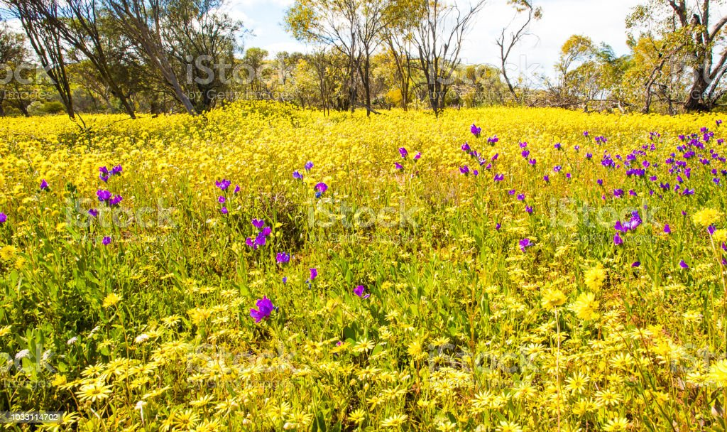 Wild flower carpet with bright yellow and purple flowers stock photo