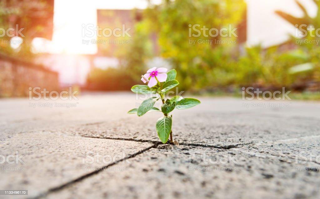 Wild flower growing through crack in the  tiled pavement. - Zbiór zdjęć royalty-free (Barwinek - kwiat)