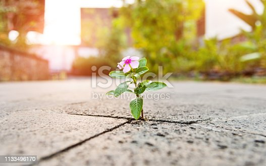 Wild flower growing through crack in the  tiled pavement.
