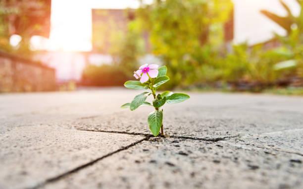 dziki kwiat rośnie przez pęknięcie w wyłożonej kafelkami chodniku. - nadzieja zdjęcia i obrazy z banku zdjęć