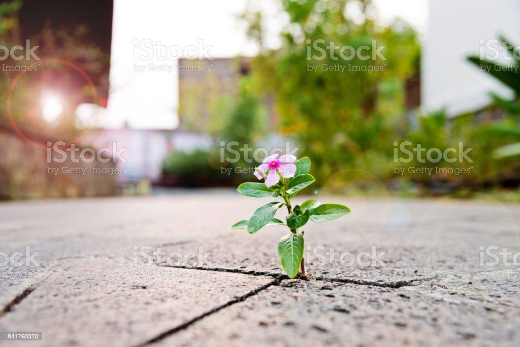 Vahşi aracılığıyla döşenmiş kaldırım boşlukta büyüyen çiçek stok fotoğrafı