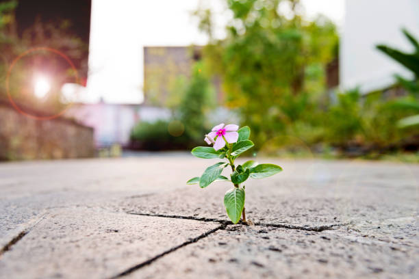 Wild flower growing through crack in the  tiled pavement stock photo