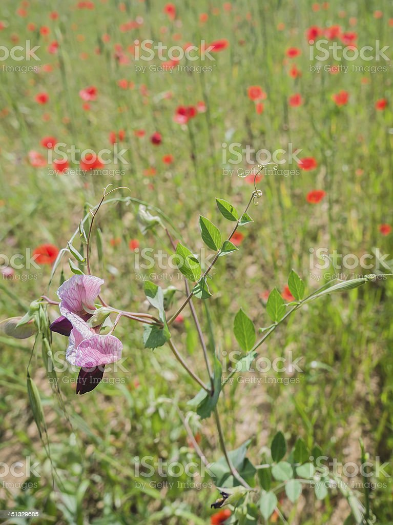 Wild flower in a field of poppies royalty-free stock photo