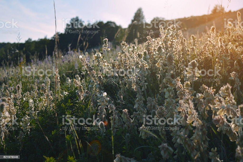 Wild flower in sunset stock photo