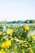 Swedish summer meadow by lake. Buttercups and cow parsley. Scandinavian midsummer. Midsommar.