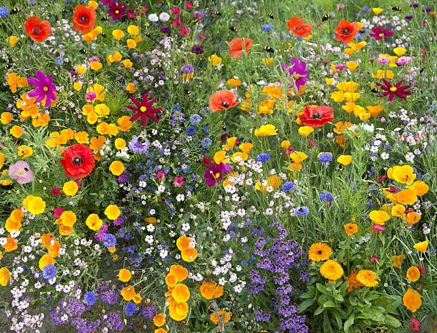 wild flower mix with poppies and lots of bees stock photo