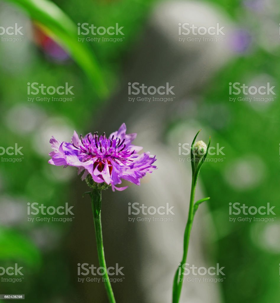 Wild flower mother mary statue summer New York royalty-free stock photo
