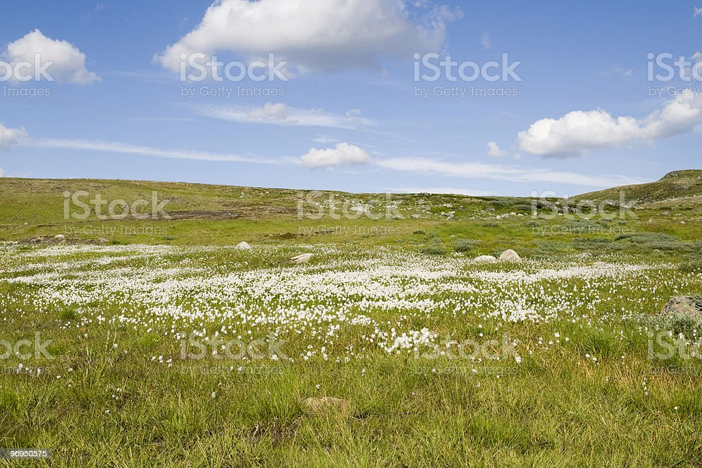 Wild flower on a ridge royalty-free stock photo