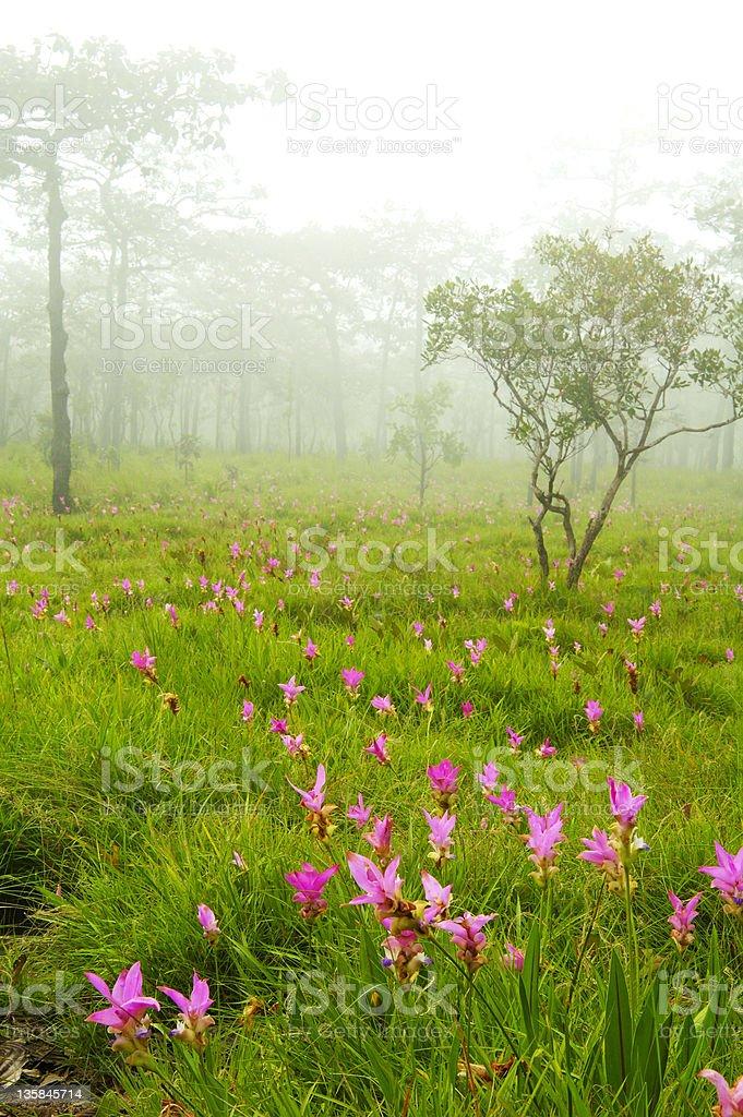 Wild flower Siam Lily royalty-free stock photo