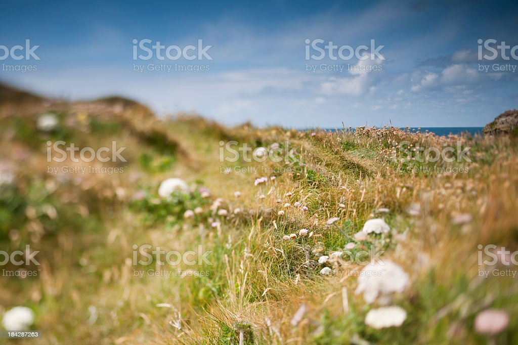Wild flowers and grasses on the Cornish Cliffs stock photo