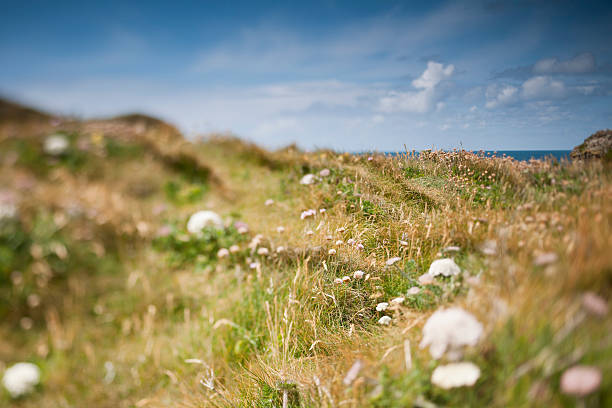 wild flowers and grasses on the cornish cliffs - cornwall stock photos and pictures