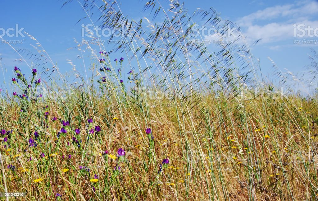 wild flowers and spikes in blue sky royalty-free stock photo