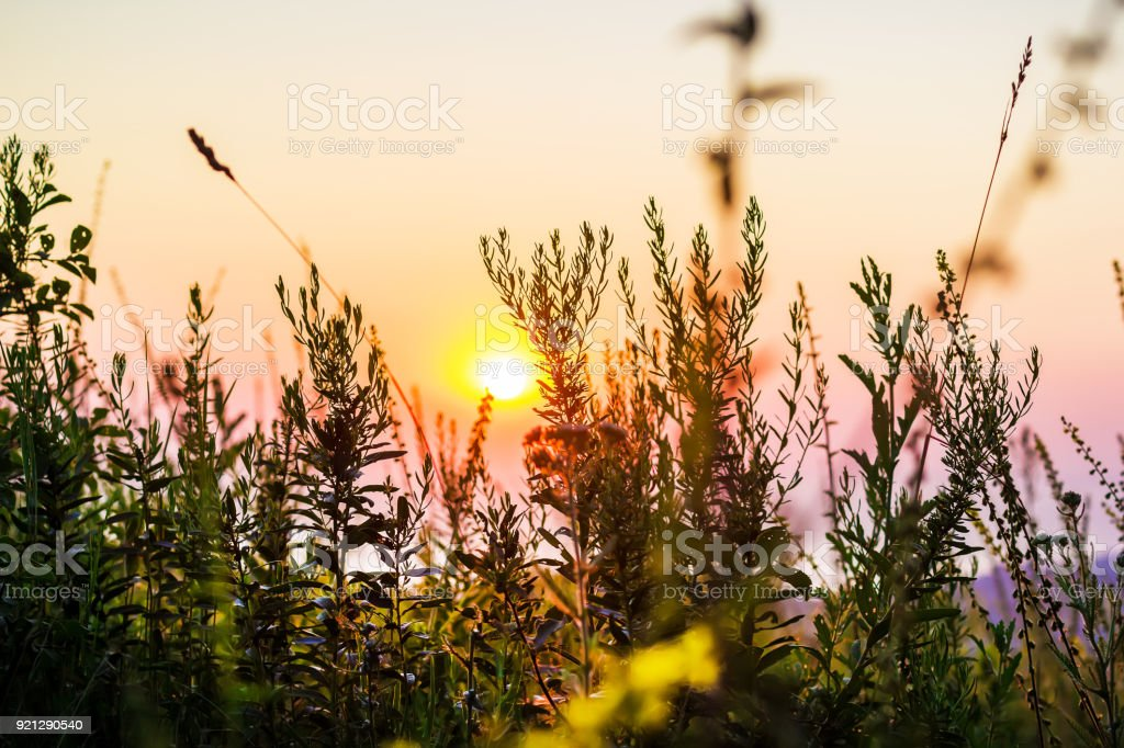 Wild flowers and sunset. Floral background stock photo
