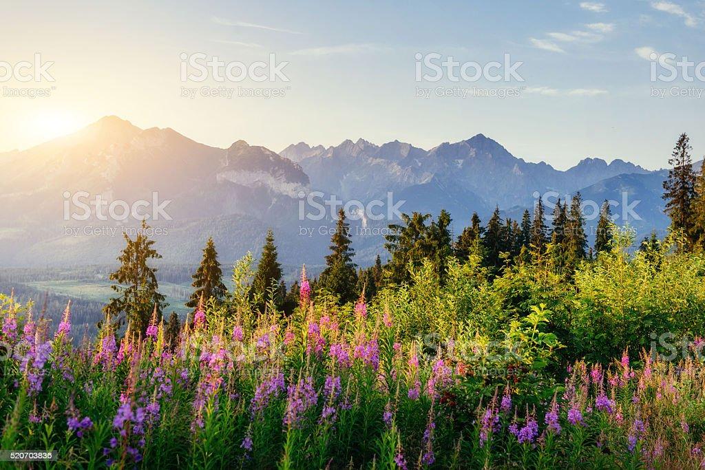 Flores silvestres en la puesta de sol en las montañas. Polonia. Zakopane. - foto de stock
