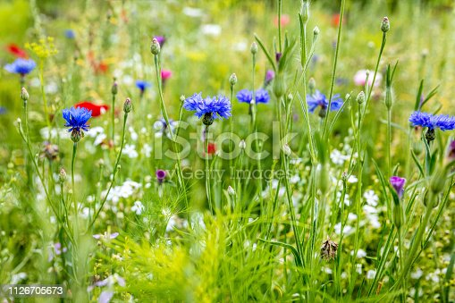 Wild flowers at the heyday, cornflowers, poppies and herbs in the background