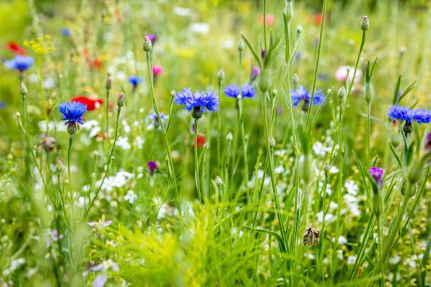 전성기, cornflowers, 양 귀 비와 백그라운드에서 허브에 야생 꽃 - 초원 뉴스 사진 이미지
