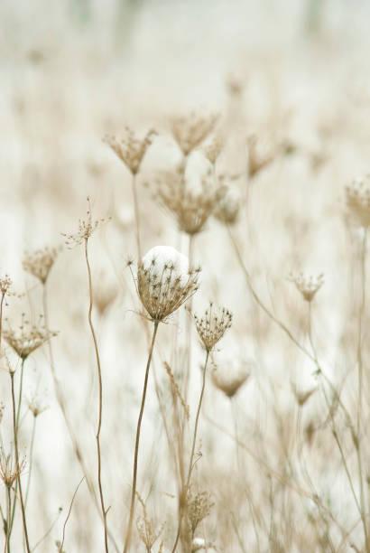 wild flowers at winter - zasuszony zdjęcia i obrazy z banku zdjęć