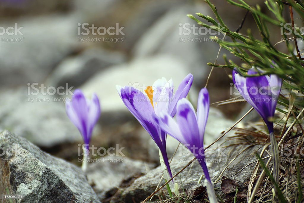 wild flowers growing in rocky area royalty-free stock photo