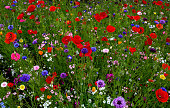 Wild flower bed in a country garden in summer