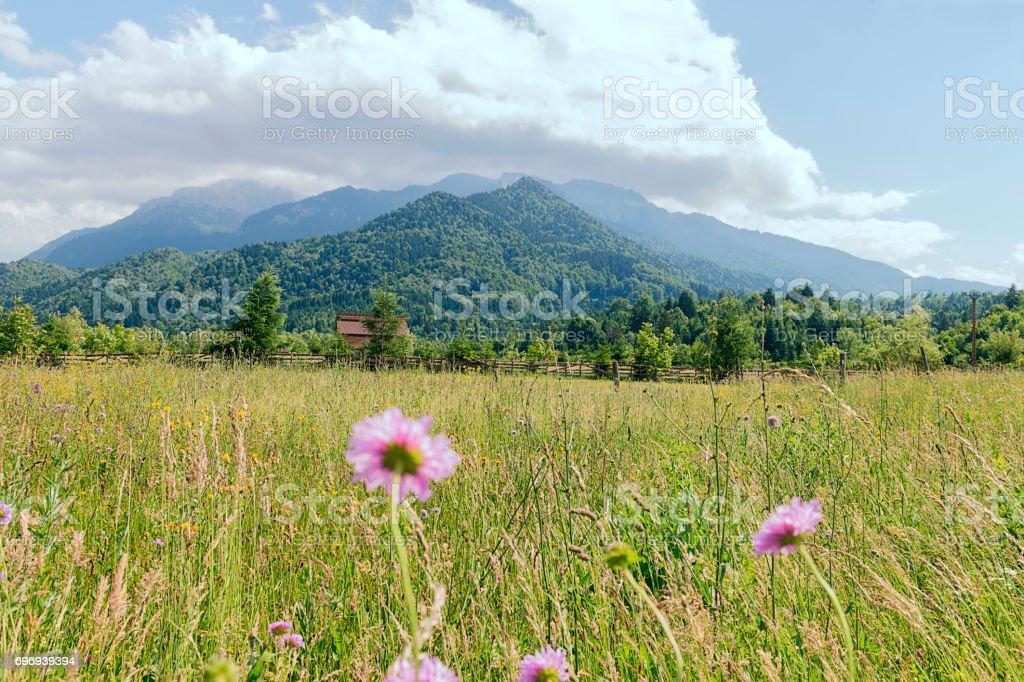 wild flowers in a meadow, transylvania Romania stock photo