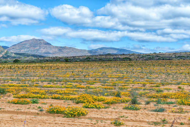 Wild flowers in a rooibos tea field near Clanwilliam stock photo
