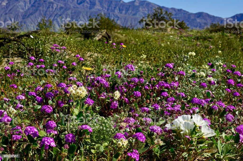 wild flowers in desert stock photo