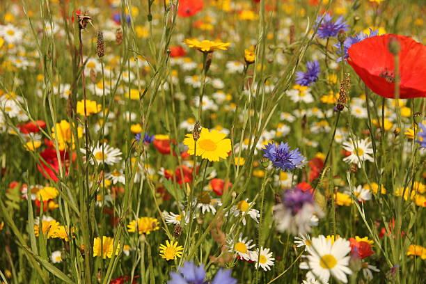 Wild flowers in meadow stock photo