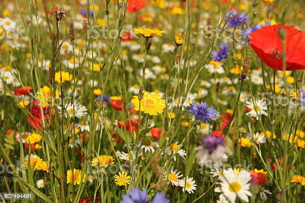 Close up of wild British flowers in field of grass including poppy, cornflower and daisy blooms