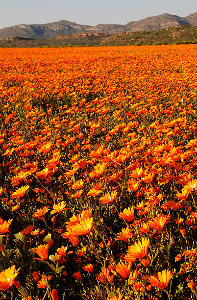 Wild flowers in Namaqualand, South Africa stock photo