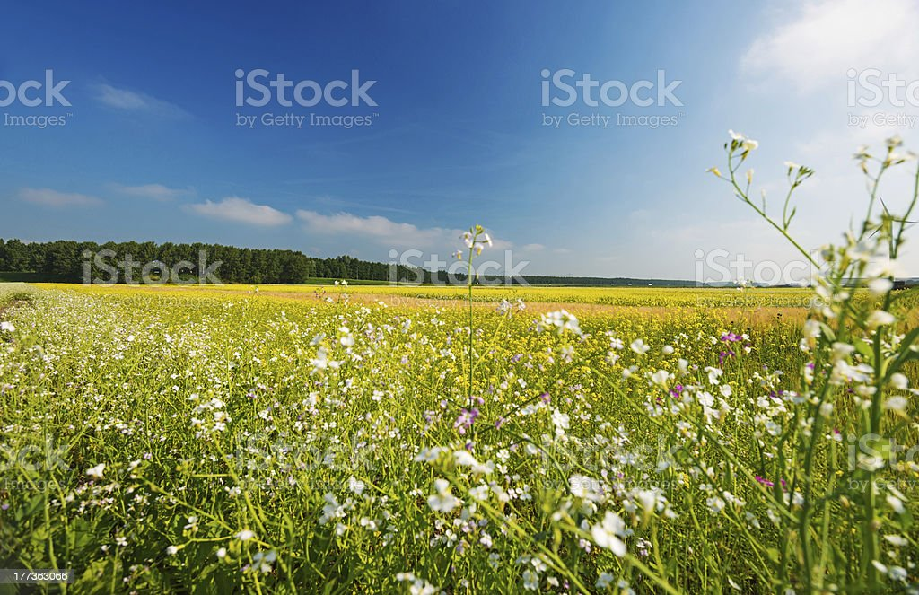 Wild flowers in summer royalty-free stock photo