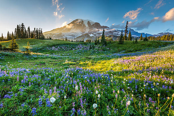 Wild flowers in the grass on a background of mountains. Reflection lake trail. Summer, Mount Rainier National Park washington state stock pictures, royalty-free photos & images