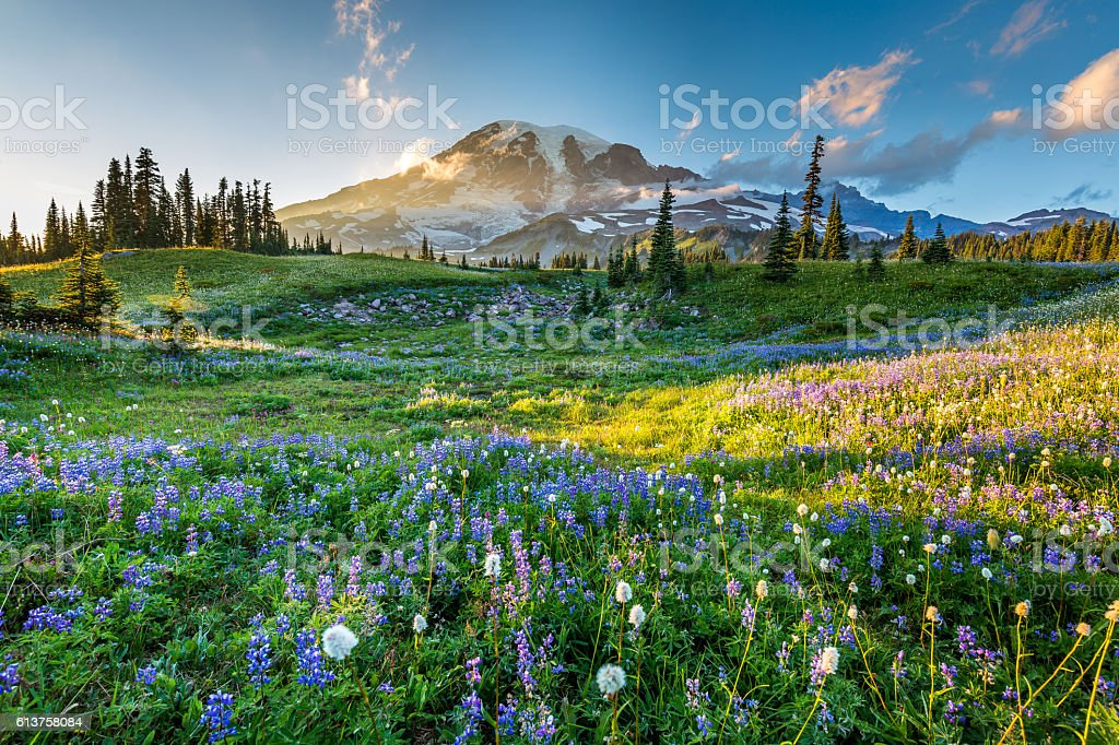 Wild flowers in the grass on a background of mountains. stock photo