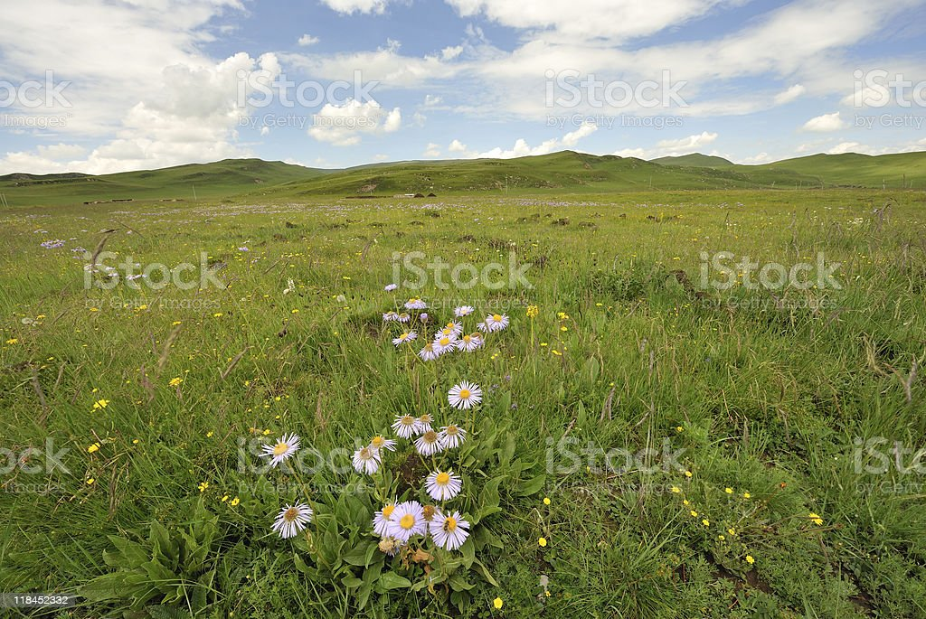 wild flowers in the meadow stock photo