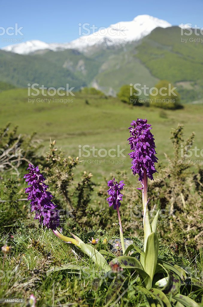 Wild flowers in the spring Pyrenees stock photo