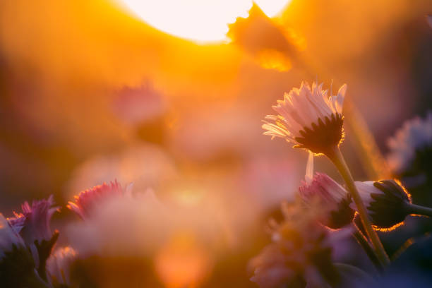 Wild flowers of daisies bloomed in the garden, illuminated by the rays of the setting sun with soft warm light stock photo