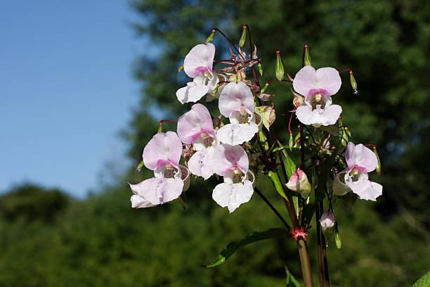 Pale flowers of riverside Indian balsam Impatiens glandulifera stock photo