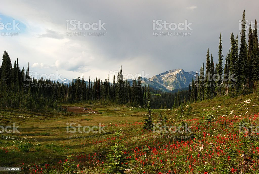 wild flowers on mount revelstoke in summer royalty-free stock photo