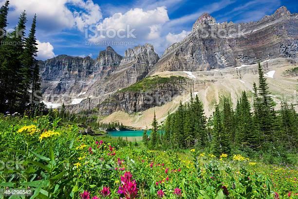Wild flowers on the Iceberg Lake Trail