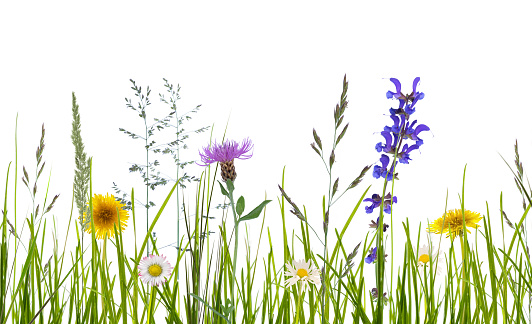 wild flowers on white background