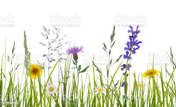 Wild flowers on white background picture id972096240?b=1&k=6&m=972096240&s=612x612&h=jneg5sk9inw76rk0buhbsmogatbxeyyvhhakbmj hhw=