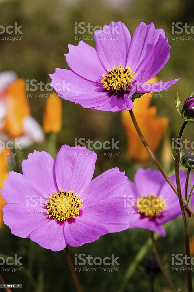Wild flowers royalty-free stock photo