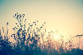 Wild flowers silhouette against sun, sundown vintage toned background