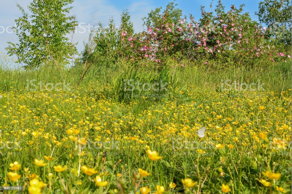 Wild flowers, wild rose flowers and butterfly stock photo