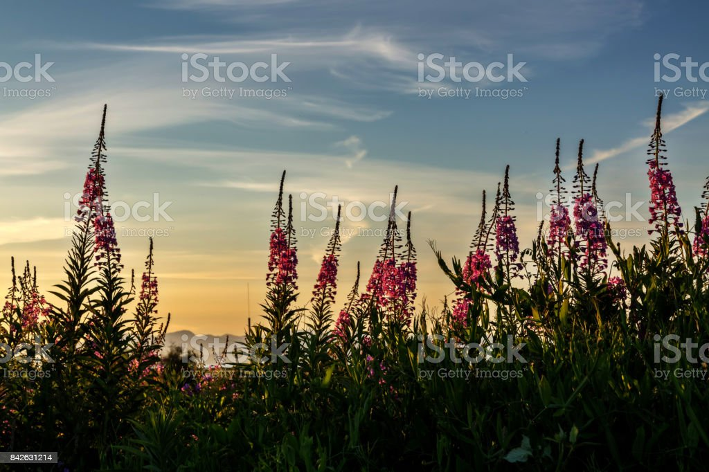 wild flowers with sunset light stock photo