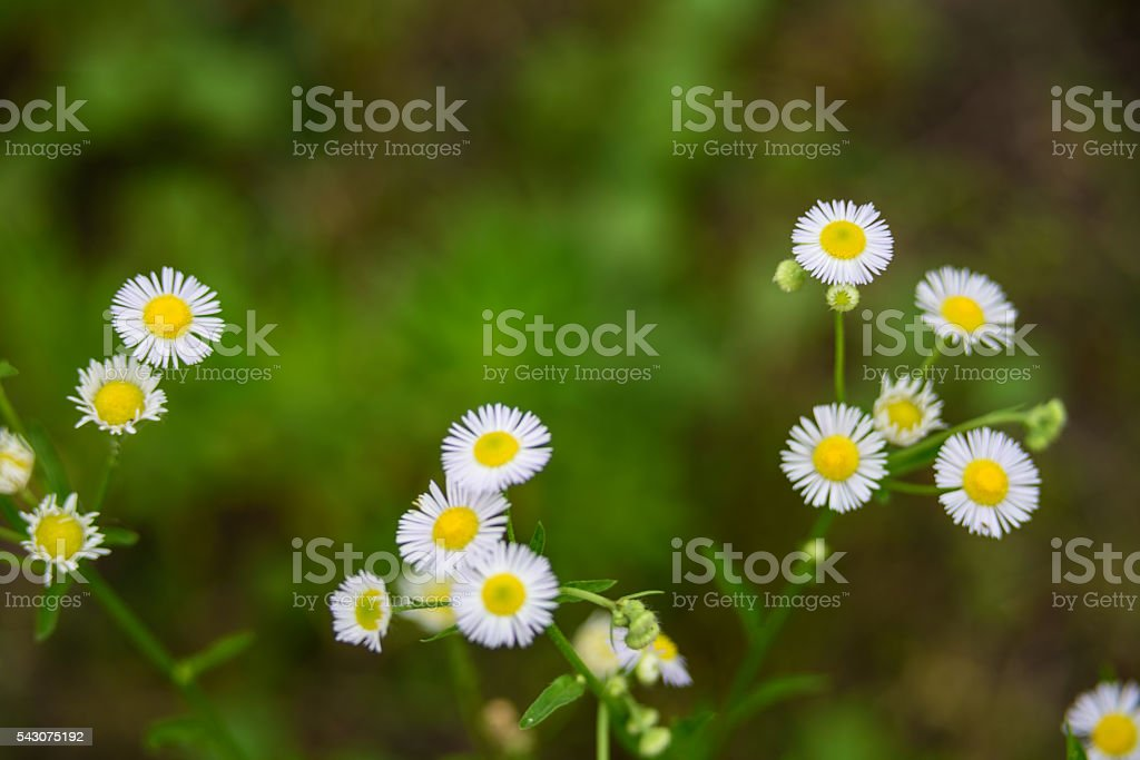 Wild folower in the grasses. stock photo