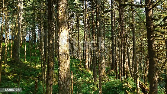 Spooky Woodland in Wilderness of Alaska in the USA.