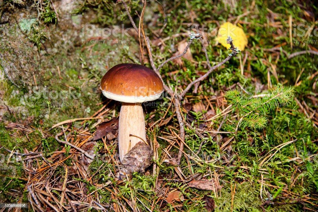 Wild Forest Mushroom – zdjęcie