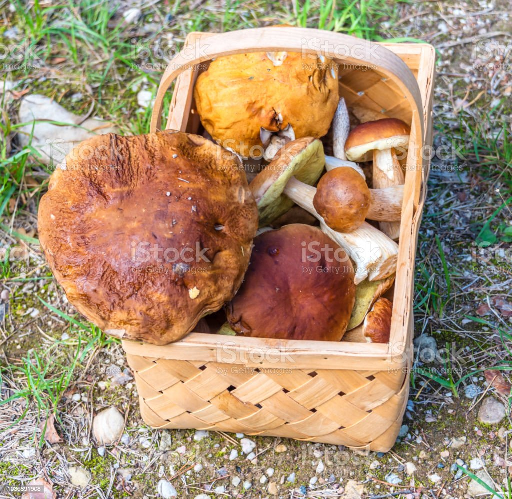 Wild Forest Mushrooms in a Traditional Wicker Basket - foto stock