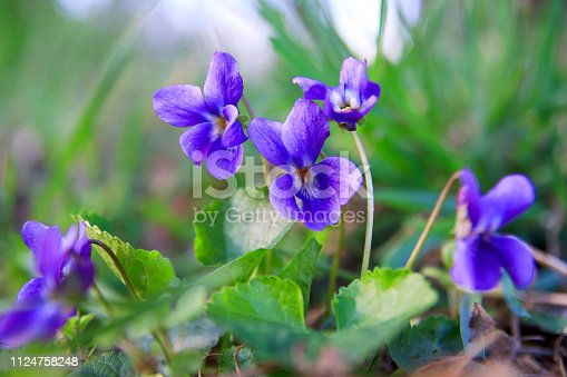 Wild forest violet in the spring forest. Blooming close-up. Nature background. Sweet Violet, English Violet.