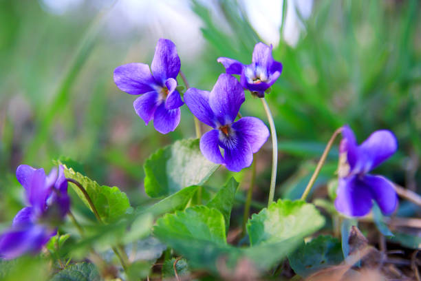 wild forest violet in the spring forest. blooming close-up. nature background. - violet stock photos and pictures